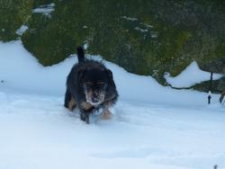 Timky, chien Teckel