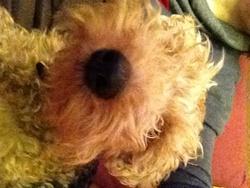Timmy, chien Welsh Terrier