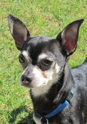 Timmy, chien Chihuahua