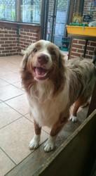 Timo, chien Berger australien