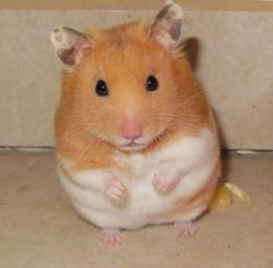 Timon, rongeur Hamster