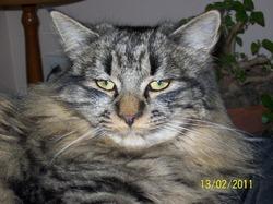 Timon, chat Persan
