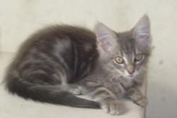 Timur, chat Gouttière