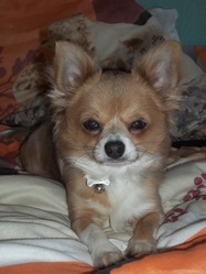 Timy, chien Chihuahua