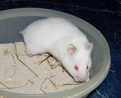 Timy, rongeur Hamster