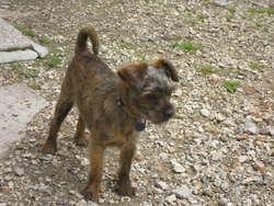 Timy, chien Yorkshire Terrier
