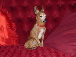Timy, chien Pinscher