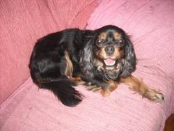Tina, chien King Charles Spaniel