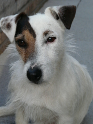 Tina, chien Jack Russell Terrier