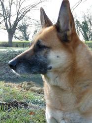 Tina, chien Berger allemand