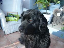 Tina, chien Terre-Neuve