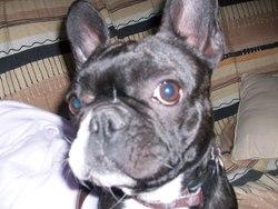 Tina, chien Bouledogue français