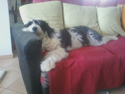 Tina, chien Bearded Collie