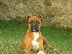 Tina, chien Boxer