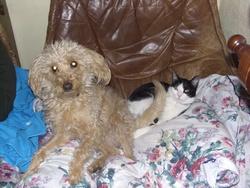 Tina, chien Caniche