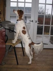 Tina, chien Épagneul breton