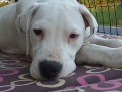 Tina, chien Dogue argentin
