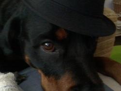 Tina, chien Rottweiler