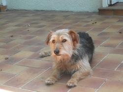 Tina, chien Teckel