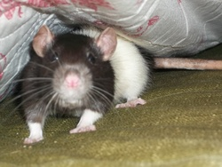 Tina, rongeur Rat