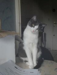 Tina, chat Européen