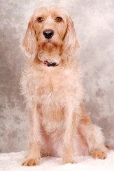 Tina, chien Griffon fauve de Bretagne