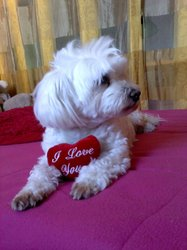 Tina, chien Bichon maltais