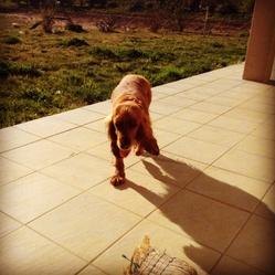 Tina, chien Cocker anglais