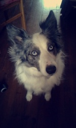 Tina, chien Border Collie