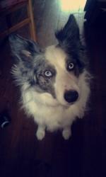 Tina, chien Border Collie