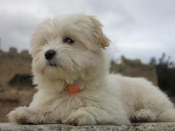 Tina, chien Coton de Tuléar