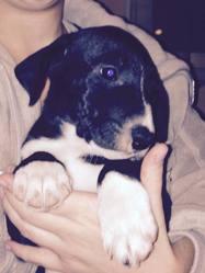 Tina, chien Bull Terrier