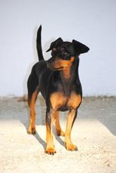 Tina, chien Pinscher