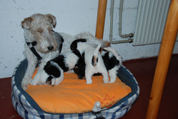 Tina, chien Fox-Terrier
