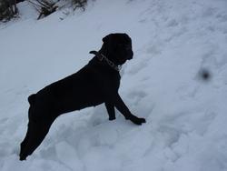 Tina, chien Cane Corso