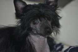 Tina Du Pré Des Trolls, chien Chien chinois à crête