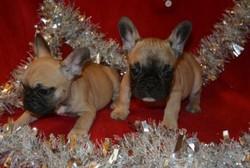 Tinas, chien Cairn Terrier