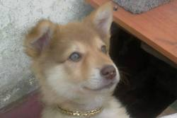 Tinda, chien Husky sibérien