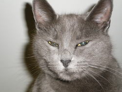 Tine, chat Chartreux
