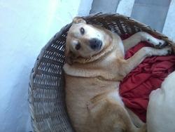 Tingis, chien