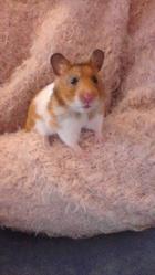 Tinia Au Paradis, rongeur Hamster