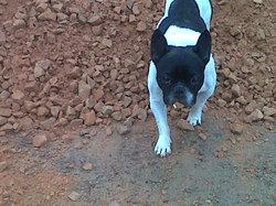 Tinki, chien Bouledogue français