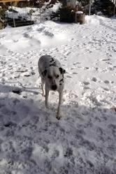 Tinkye, chien Dalmatien