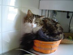 Tino, chat Maine Coon