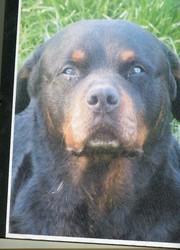 Tino, chien Rottweiler