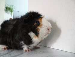 Tino, rongeur Cochon d'Inde