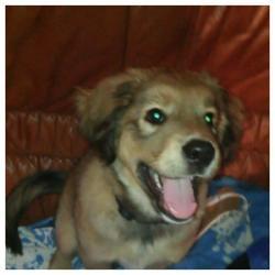Tino, chien Malamute de l'Alaska