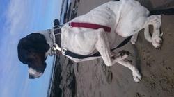 Tino, chien Pointer anglais