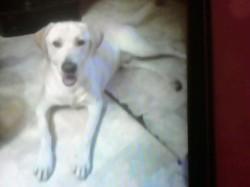 Tino, chien Labrador Retriever