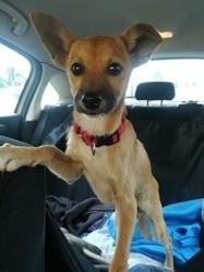 Tino, chien Pinscher